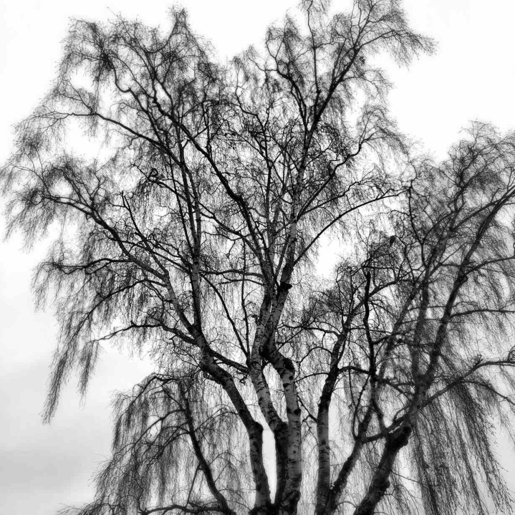 Black and white image of trees, sharply focused with a drooping dramatic character to them